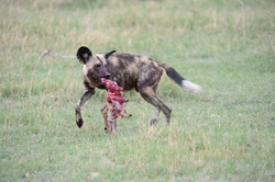 Wild Dog with an Impala /Lycaon pictus, South Africa ©Johannes Ratermann