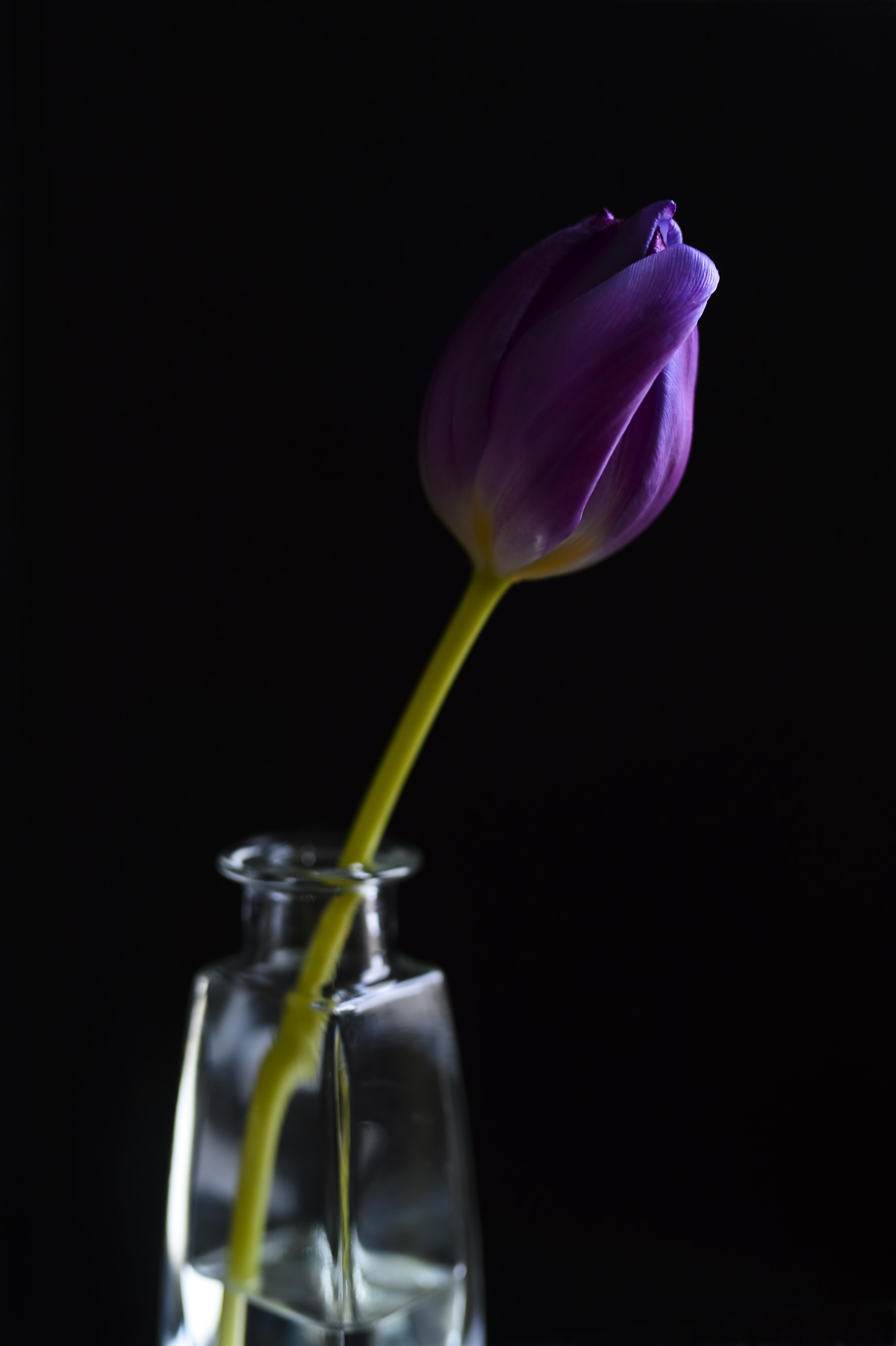 Lila Tulpe, Tulip ©Johannes Ratermann