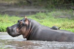 Hippo mit Schildkröte, Londolozi, ZA ©Johannes Ratermann