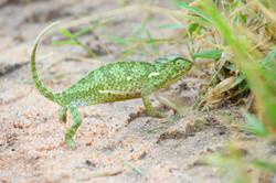 Bist du auch ein Chameleon_ ZA ©J Ra