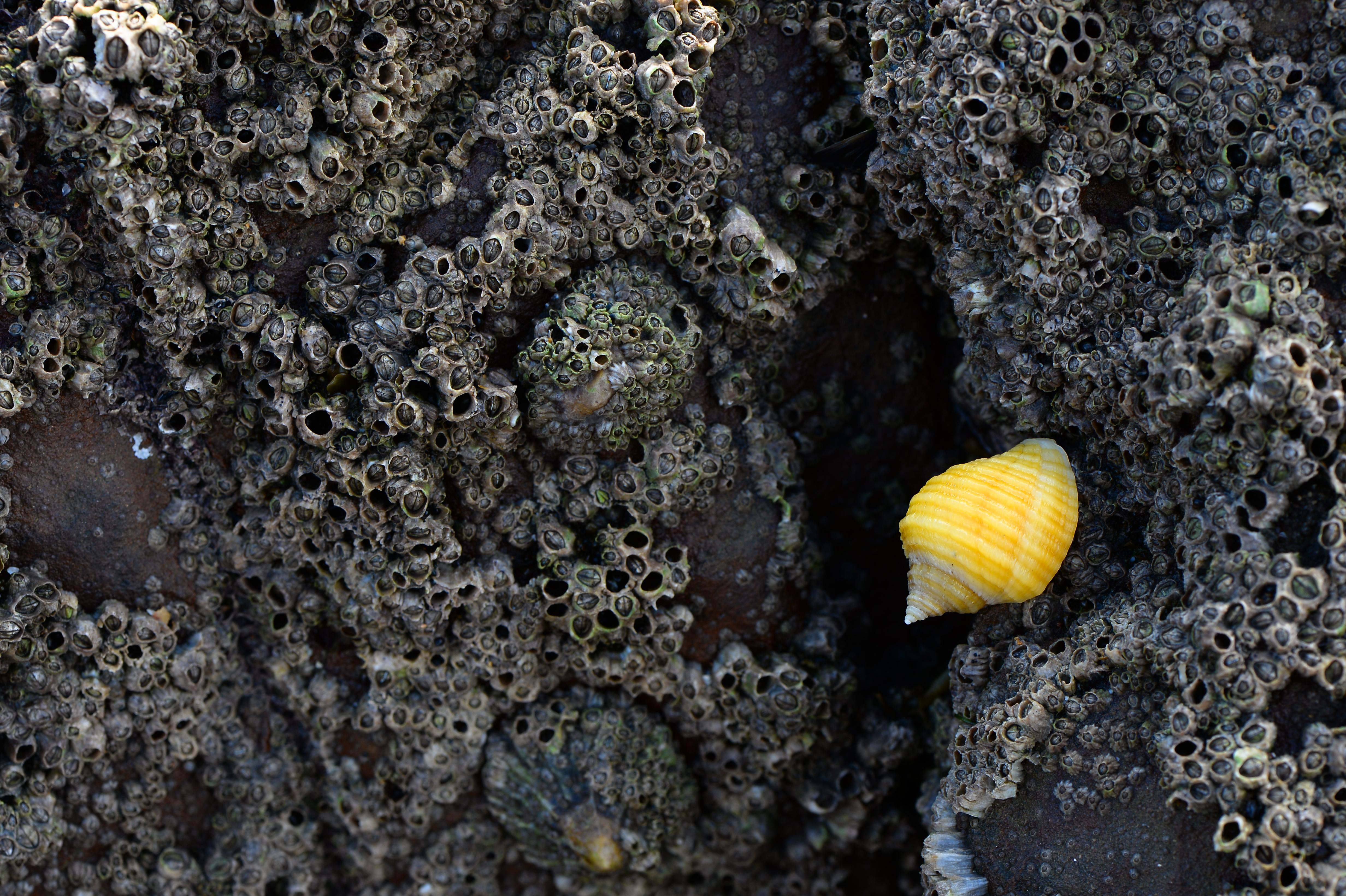 Kleine Felsenstrandschnecke ©Johannes Ratermann