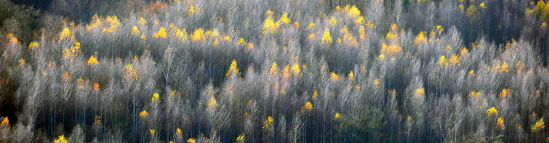 Birken im Herbst ©Johannes Ratermann