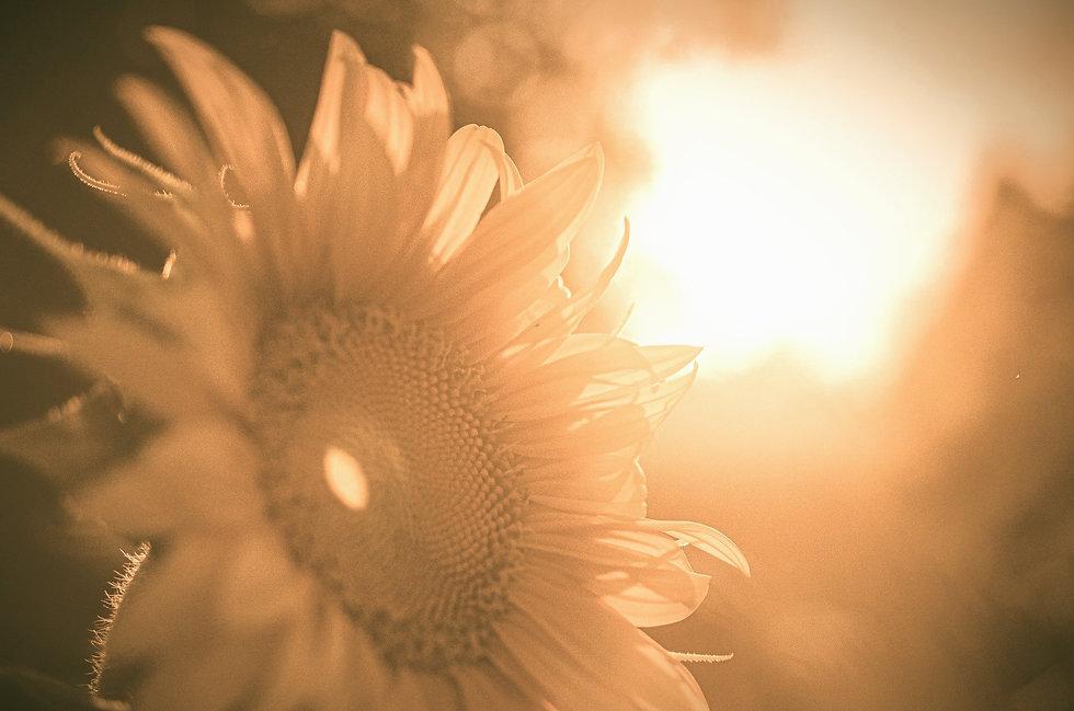 sunflower-5370278_1920_edited_edited_edited_edited.jpg