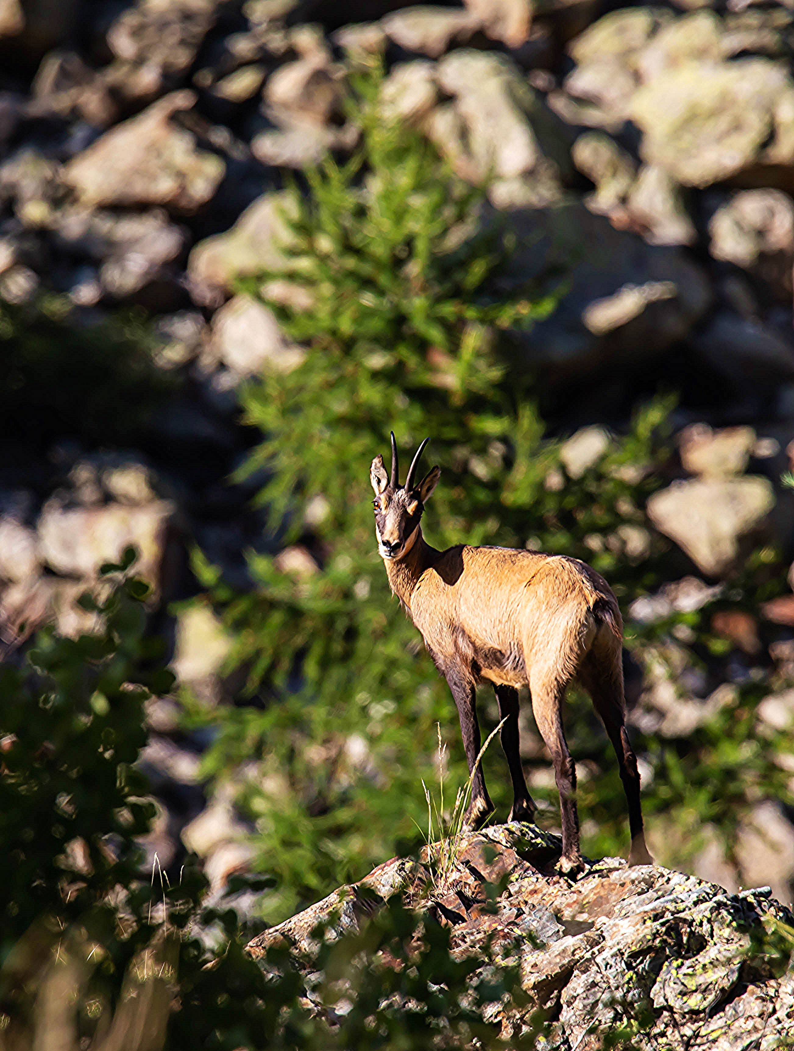 Chamois Ailefroide