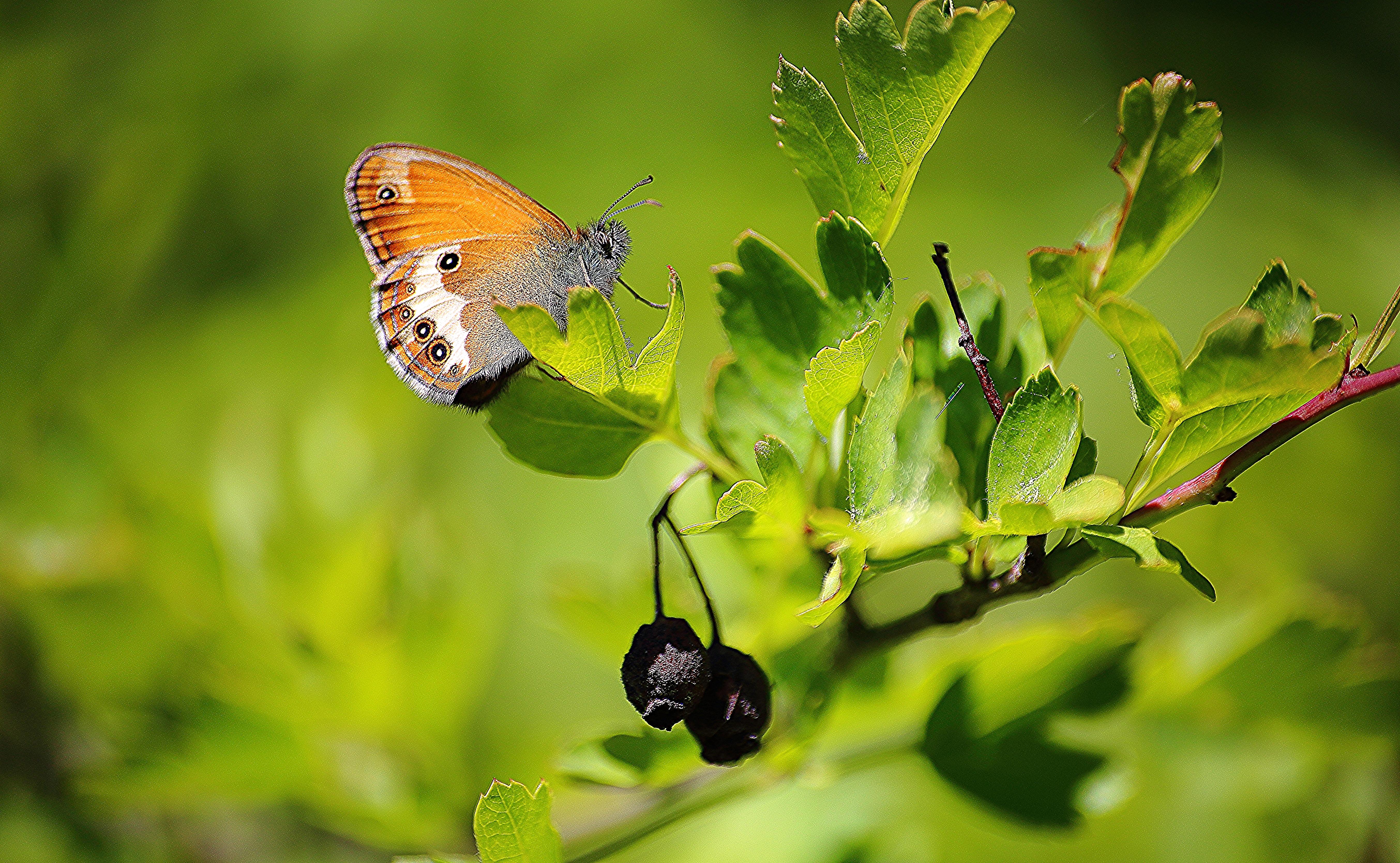 Papillon sur aubépine