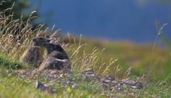 2 marmottes