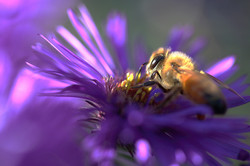 Nectar d'aster