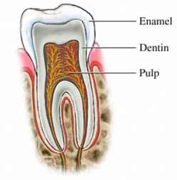 tooth_structure4.jpg