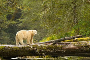 spirit-bears-of-british-columbia.jpg