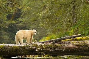 spirit-bears-of-british-columbia.jpg