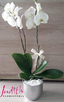 F24- Planta Natural de Orquídeas