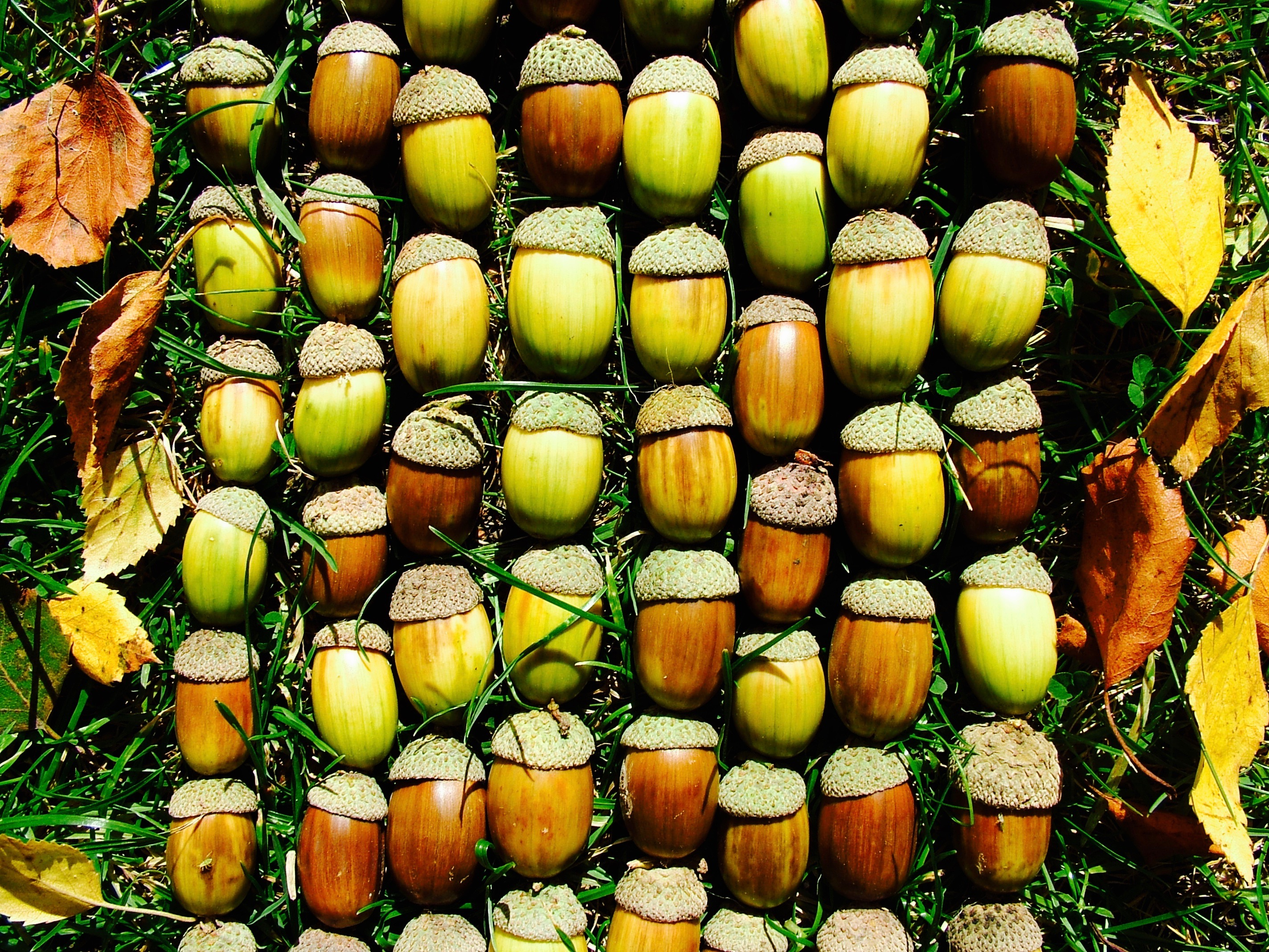 A Harvest of Acorns