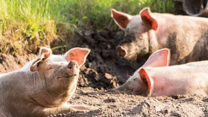 Dominic Raab admits feeding a potential acid attacker to his pigs