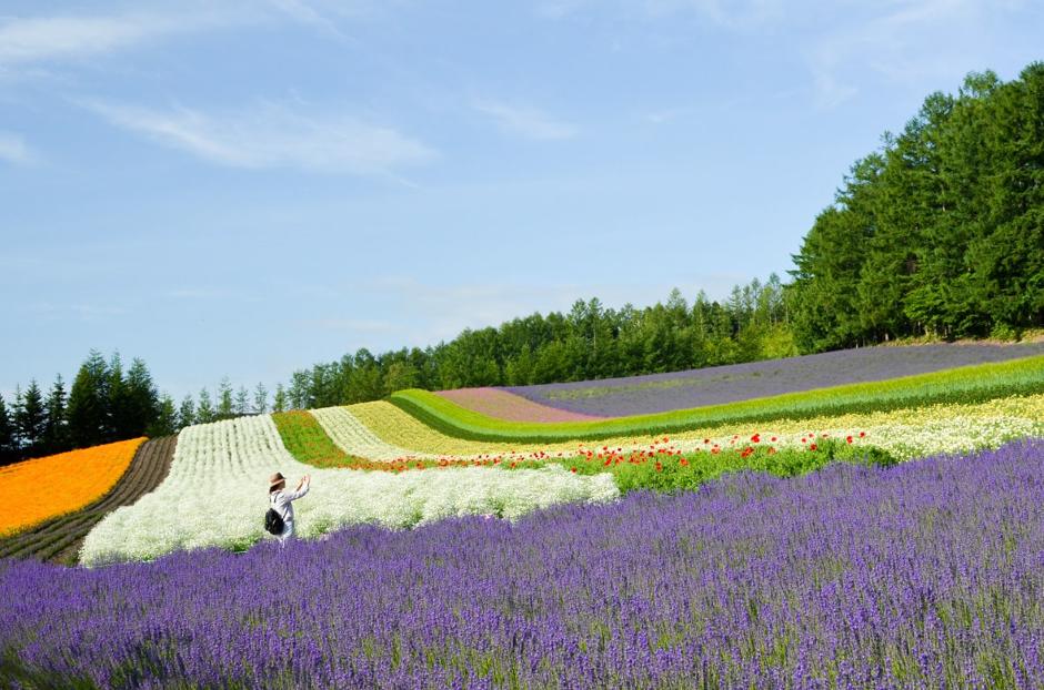 Farm Tomita Lavender Field Furano Japan