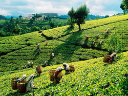 Tea plantations (two days tour)