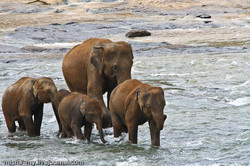 Elephant Orphanage - Pinnawala