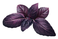 Purple Basil.png
