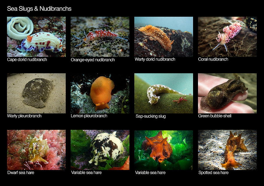 Cape Town tidal pools - Species List pag