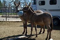 Donkeys love to play