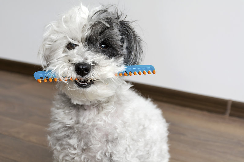 cute dog with comb in the mouth .jpg