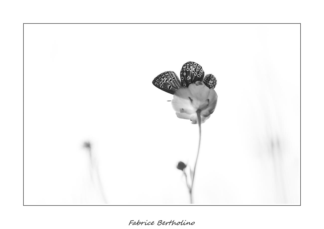 La fleur papillon