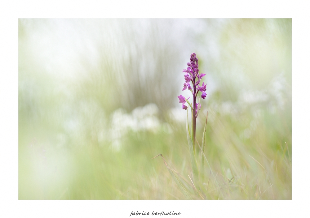 Orchis laxiflorz