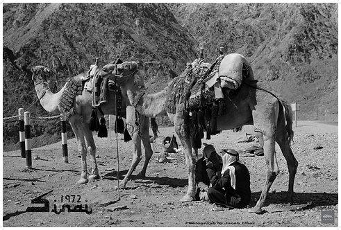 Camel Shade