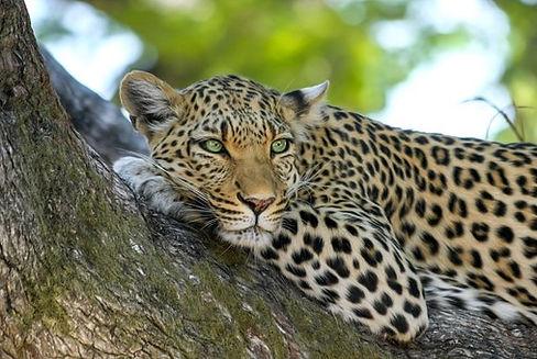 leopard-515509__340.jpg
