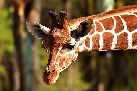 giraffe-2222908__340.jpg