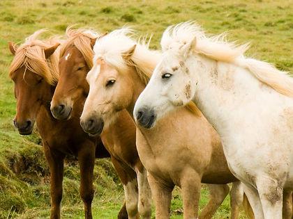 Iceland_horse_herd_in_August.jpg