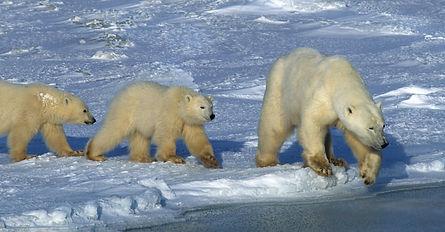 Classic-Polar-Bears-3-ice.jpg