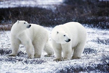 polar-bears-1665367__340.jpg