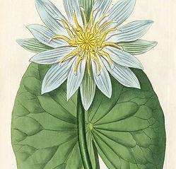 William Curtis Botanical Magazine Antiqu