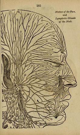 Grabado sobre los nervios y el sistema l