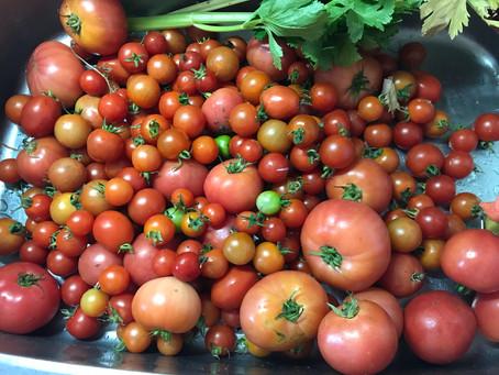 食べきれないほどのトマトは...