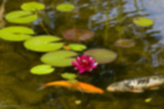 Water lilies in a ecosystem pond