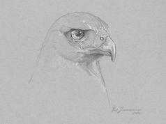 Harris's Hawk Sketch