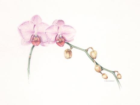 Orchid Hybrid Phalaenopsis Gan Lin Passion Print