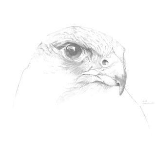 Peregrine Falcon Sketch