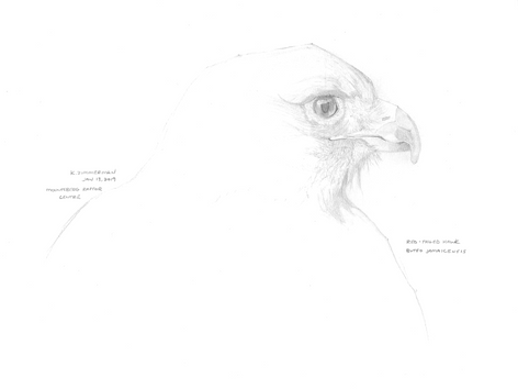 Red Tailed Hawk Sketch