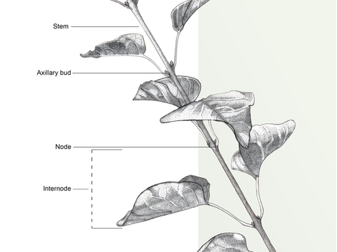 Plant Illustration