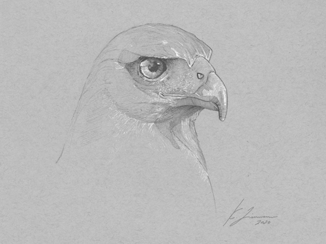 Harris's Hawk Sketch