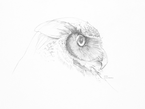 Great Horned Owl Sketch