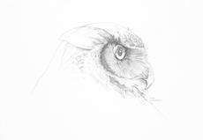 Great Horned Owl Sketch Print