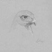 Harris's Hawk Sketch Print