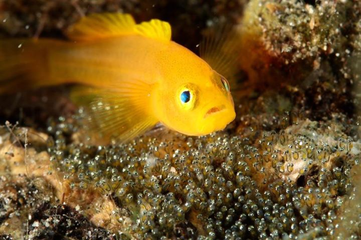 Convict Goby with eggs