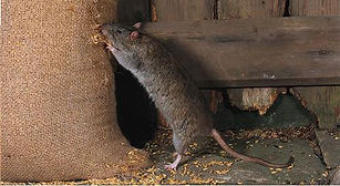 Brown-rat-feeding-from-grain-sackupgrade.jpg