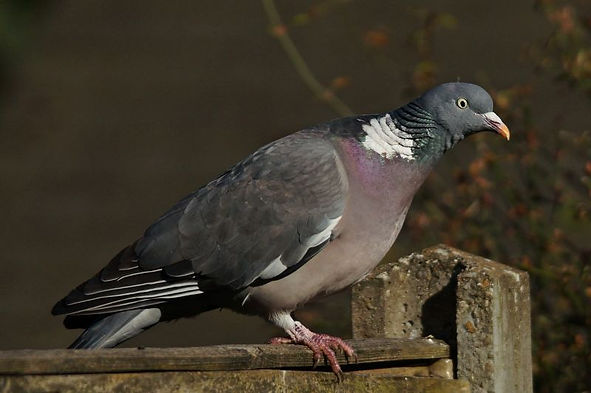 common_wood_pigeon_1.jpg