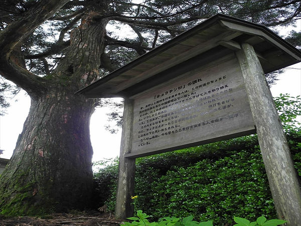 ちょうちん杉(スカイタワー)_R.JPG