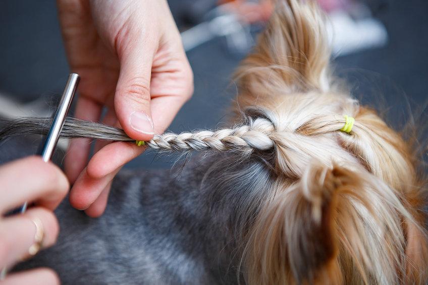 Pet groomer braids yorkshire terriers fu